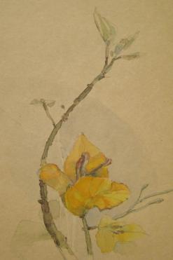 Yellow boulanguea santarita
