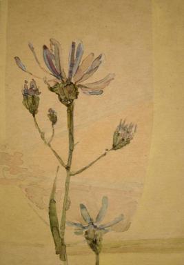 Chicori flower.