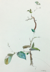 Santa Rita leaves